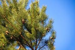 Zieleni prickles na sośnie rozgałęziają się w wiosna lesie zdjęcie stock