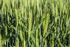 Zieleni pszeniczni ucho, kultywująca banatka w polu, pszeniczny rolnictwo, niewyrobiona banatka, banatka krajobrazu obrazki Obraz Stock