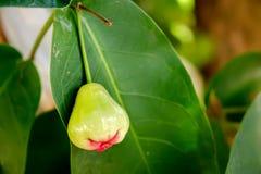 Zieleni róży jabłko na drzewie na tle Tajlandzki ogród Zdjęcia Stock