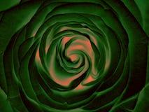 Zieleni róży kwiat, zamyka up Obraz Stock