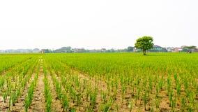 zieleni ricefields obraz royalty free