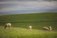 Zieleni rolni pola z baranim pasaniem fotografia stock