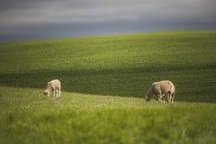 Zieleni rolni pola z baranim pasaniem obraz stock