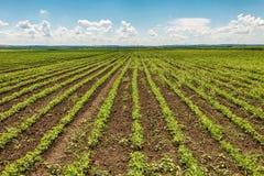 Zieleni rolnictw pola, zmierzch w niebieskim niebie z chmurami i obraz royalty free