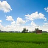 zieleni ryż zdjęcia stock