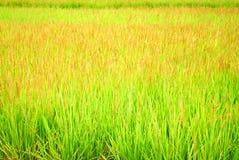 zieleni ryż Fotografia Stock
