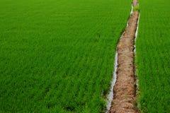 Zieleni ryż Zdjęcie Stock