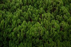 Zieleni sosnowi liście, tło tekstura zdjęcia stock