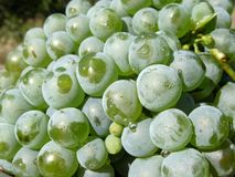 Zieleni stołowi winogrona w kroplach woda Zdjęcie Stock