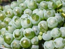 Zieleni stołowi winogrona w kroplach woda Fotografia Stock