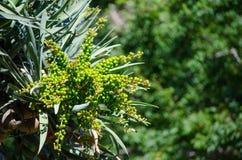 Zieleni surowi smoka ` s drzewa Krwionośni ziarna na swój gałąź w zakończeniu up przy ogródem botanicznym zdjęcie stock