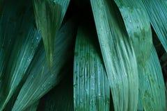 Zieleni tropikalni liście, liścia tło, natury pojęcie Zdjęcie Royalty Free