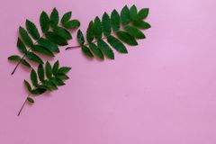 Zieleni tropikalni liście na lewica wierzchołka kącie różowy tło zdjęcie stock