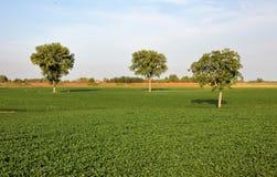 Zieleni trzy drzewa Zdjęcie Stock