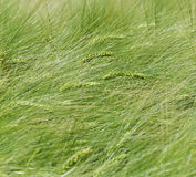 Zieleni ucho, tło zieleni ucho Zdjęcie Royalty Free