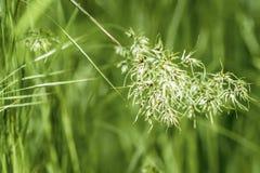 Zieleni ucho w trawie, lato ranek Pojęcie świeżość i odkrywczość, natura, wiecznie wiosna, środowiskowa, ekologia obraz royalty free