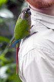 Zieleni uderzona papuga na man& x27; s ramię Obraz Stock