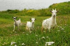 Zieleni utrzymania trzy naïve kózki dzieciaki w trawie Zdjęcie Stock
