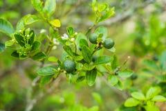 Zieleni wapno na drzewie Wapno jest hybrydowym cytrusa owoc wokoło 3-6 centymetrów w średnicie i, który jest typowo round, zdjęcia royalty free