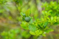 Zieleni wapno na drzewie Wapno jest hybrydowym cytrusa owoc wokoło 3-6 centymetrów w średnicie i, który jest typowo round, obrazy royalty free