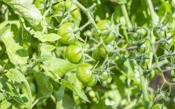 zieleni wiśnia pomidory Zdjęcie Stock