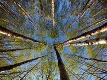 Zieleni wibrujący brzoz drzewa w lata świetle słonecznym fotografia stock