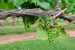 Zieleni winogrona fotografia stock