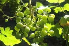 Zieleni winogrona Fotografia Royalty Free