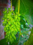 Zieleni winogrona & x28; Gresh Grapes& x29; fotografia stock