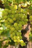 Zieleni winogrona na winogradzie blisko Sangli, maharashtra Zdjęcia Stock