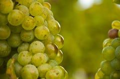 Zieleni winogrona na winogradzie, makro- Fotografia Royalty Free