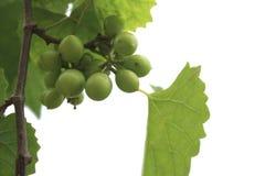 Zieleni winogrona na winogradzie w winnicy, zieleni winogrona dla robią bielowi Obraz Royalty Free
