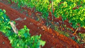 Zieleni winogrona r na gałąź zbiory wideo