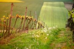 Zieleni winogrono liście w wieczór świetle słonecznym Zdjęcie Stock