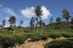 Zieleni wzgórza z herbacianymi plantacjami Ella, Sri Lanka Obraz Stock