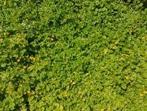 Zieleni ziemi pokrywy roślina z żółtymi kwiatami Zdjęcie Stock