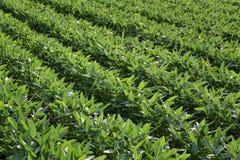 Zielenie kultywować soj rośliny w polu obraz stock