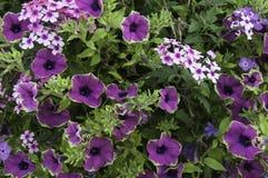 Zielenie ostrzyć purpurowe petunie w ogródzie Obrazy Stock