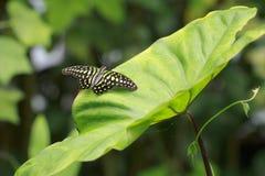 Zielenieje barwionego ogoniastego sójka motyla, Graphium agamemnon, odpoczywa Fotografia Stock