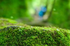 Zielenieje, lasowy tło z ostrością na mech zdjęcia royalty free