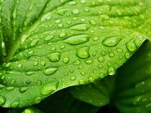 zielenieje liść Obraz Stock
