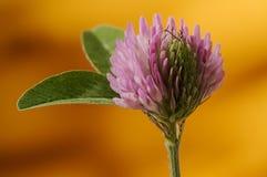 Zielenieje liście i Różowi koniczynowego płatek przeciw pomarańczowemu backrgroun i Obrazy Royalty Free