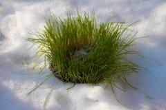 Zielenieje, młode pszeniczne rozsady w mój pogodnym, śnieżnym organicznie ogródzie, zdjęcie royalty free