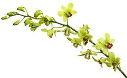 zielenieje orchidei Obraz Stock