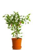 Zielenieje pieprzowej rośliny Obraz Royalty Free