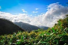 zielenieje plantaci herbaty Obraz Royalty Free