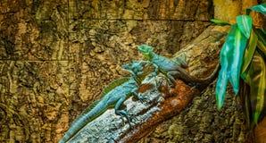 Zielenieje plumed bazyliszki siedzi wpólnie na gałąź, jeden samiec i jeden żeńskim bazyliszku, tropikalne jaszczurki od Ameryka zdjęcie royalty free