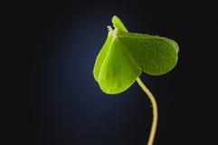 Zielenieje zamkniętej kierowej lasowej liść koniczyny wskazuje w górę zmroku bac Zdjęcia Stock