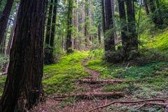 Zielenisty redwood las; redwood kobylak wśród drzew; Kalifornia Fotografia Royalty Free