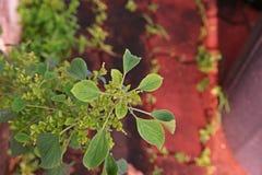 Zielny rocznik, Acalypha indicahttps Zdjęcia Royalty Free